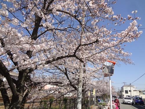 線路沿いの桜並木