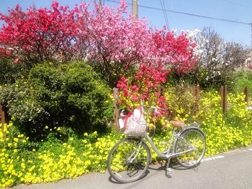浜寺公園 電車道の春爛漫