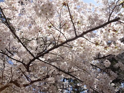 シートの上の桜