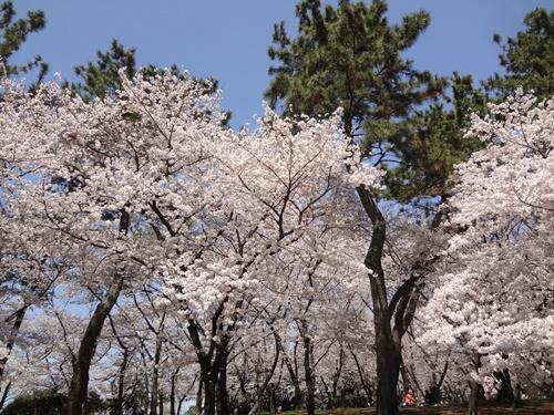 バックの桜