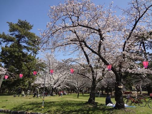 ピンク提灯と桜