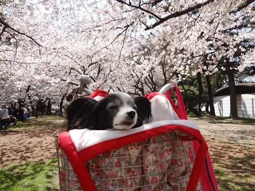 桜のトンネルをバックに