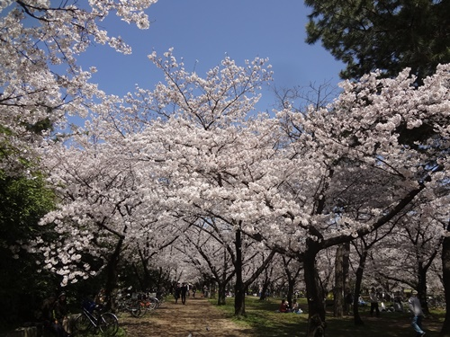 桜のトンネル満開!