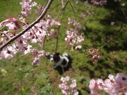 枝垂れ桜越しのルビー