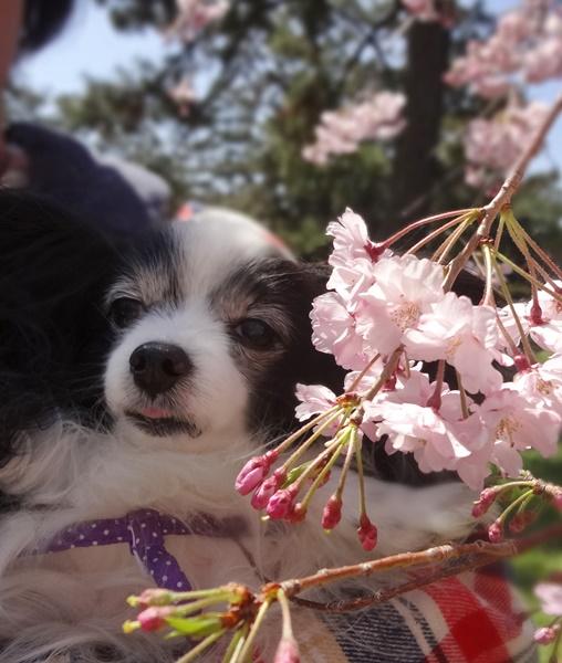 自撮り(枝垂れ桜とルビー)