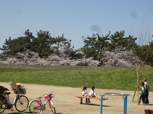 土手の上から見える桜