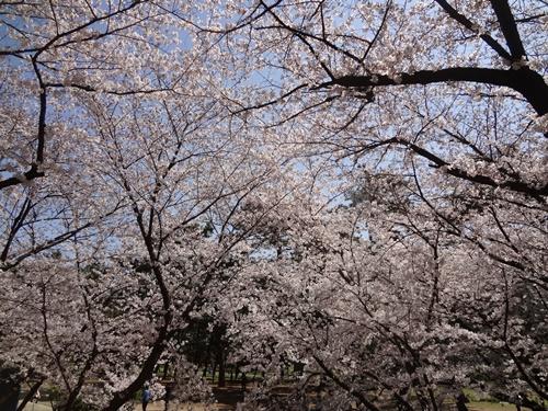 網目のような桜