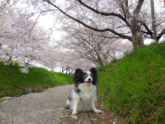 桜をバックにお座りで