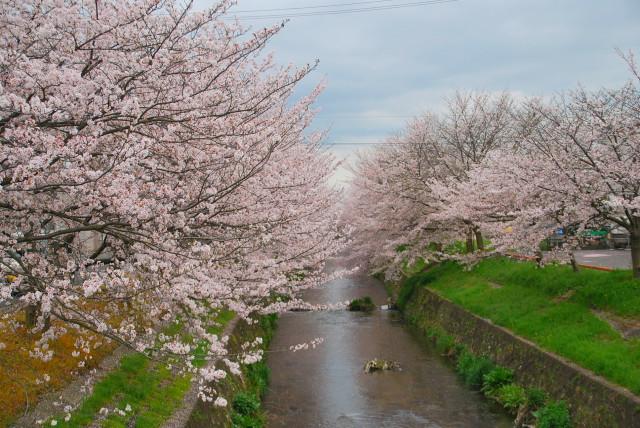 帰り道にも川沿いの桜