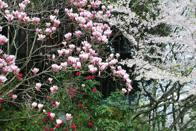 モクレン、シャクナゲ、桜の競演