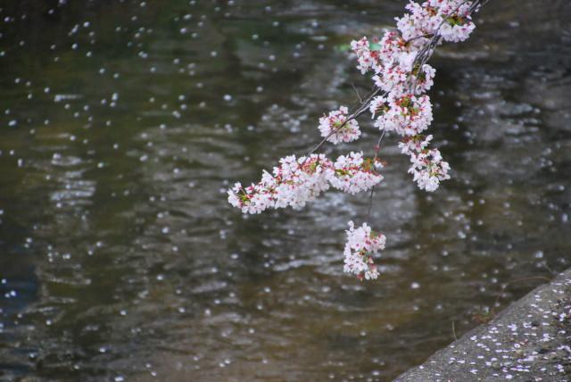 川に散った花びら