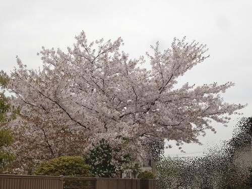 ちょっと葉桜