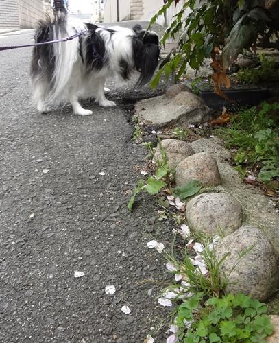 花びらが散った散歩道
