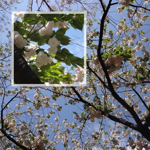 白い八重桜(レストハウス横)
