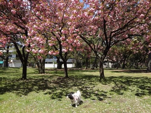 八重桜の下で(レストハウス横)