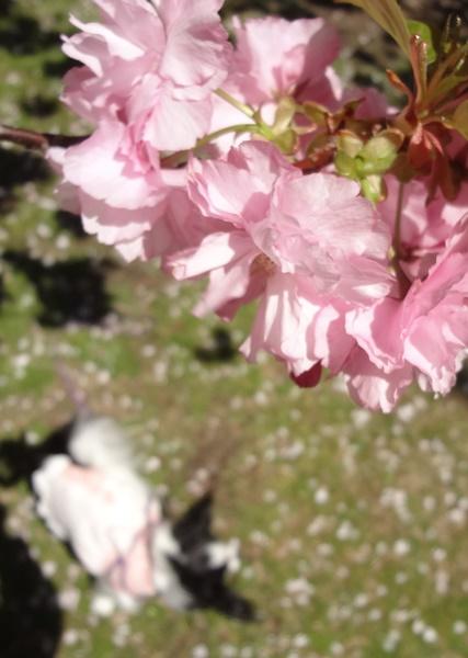 八重桜の下で(レストハウス横2)