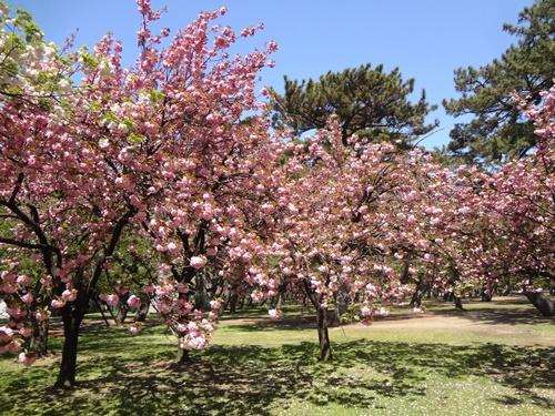 八重桜レストハウス横1