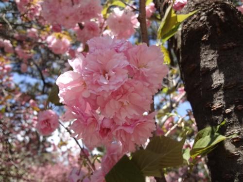 八重桜レストハウス横2