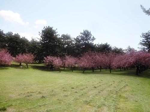 芝生広場と八重桜