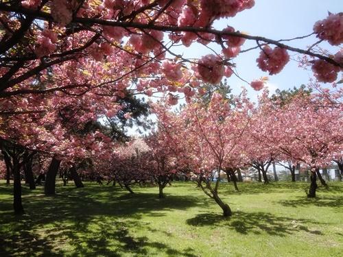 八重桜の園1