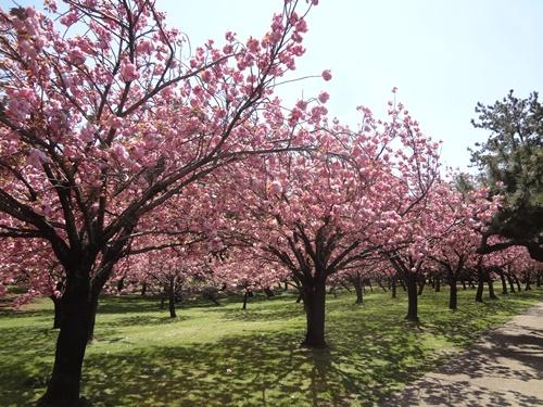 八重桜の園2