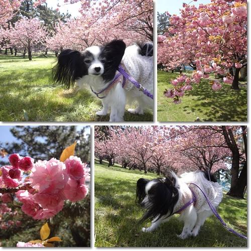 八重桜の園にて