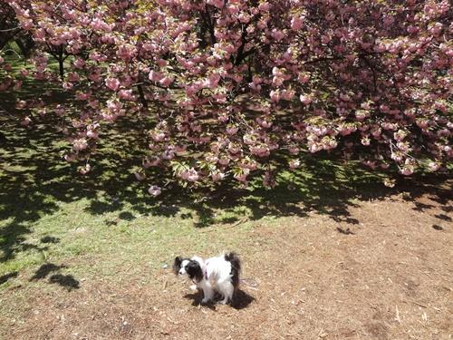 八重桜の下で(八重桜の園)