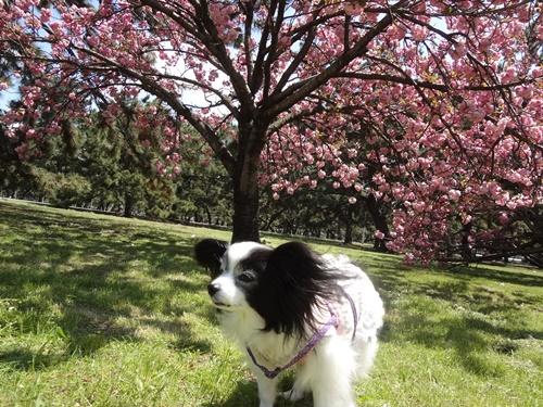 大きな八重桜の下で