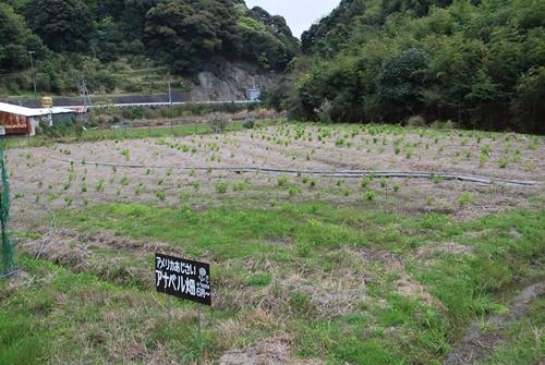 アナベル畑