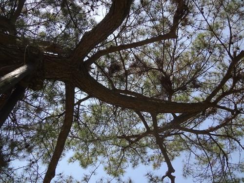 頭上の松の枝