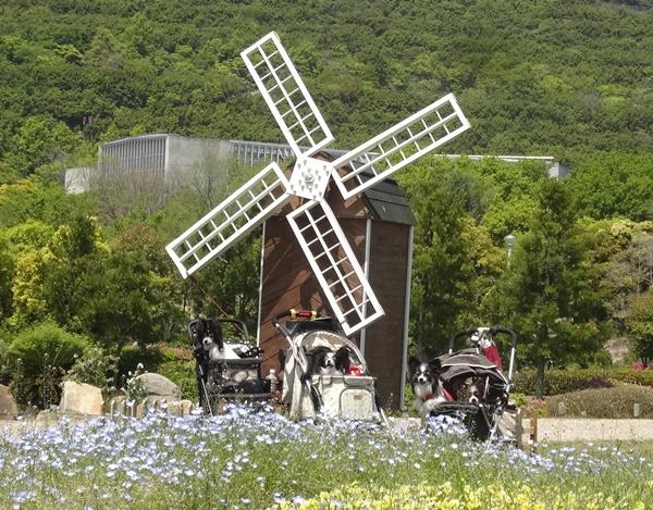 ネモフィラと風車と4パピ2
