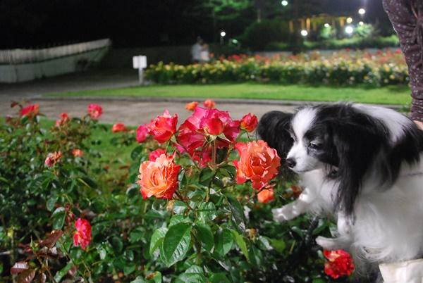 オレンジの薔薇とルビー