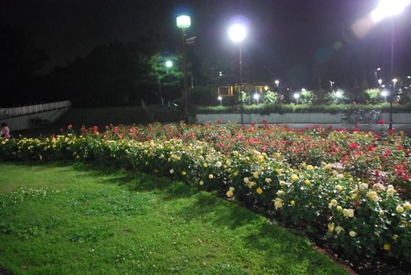 ライトアップ(薔薇花壇3)