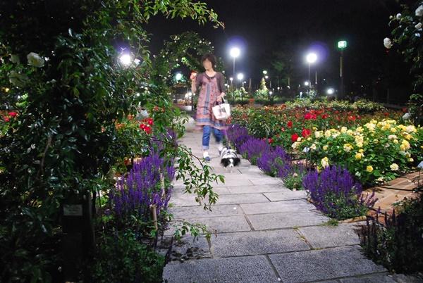 ライトアップ(薔薇花壇をお散歩3)