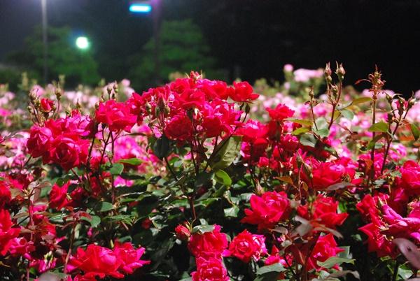 ライトアップ薔薇