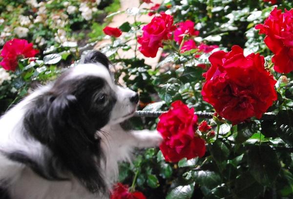 赤い薔薇とルビー