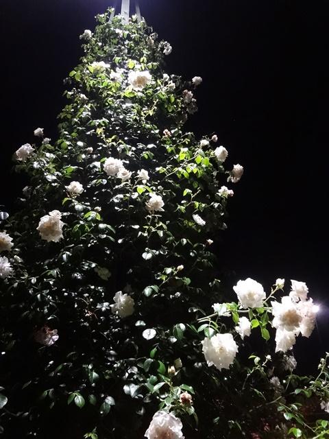 薔薇のツリー