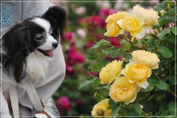 黄色い薔薇とルビー