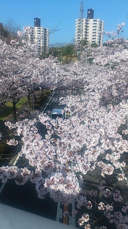 2015桜 若葉台