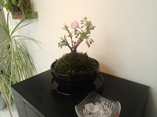 一本桜 002