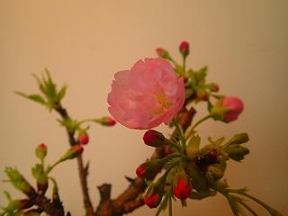一本桜 003