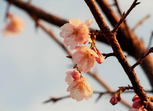 0315桜-1