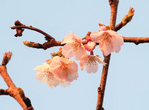 0315桜-2