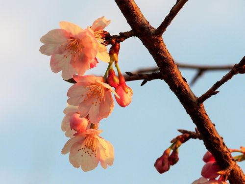 0315桜-3