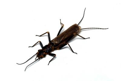 ヒロバネアミメカワゲラ_成虫