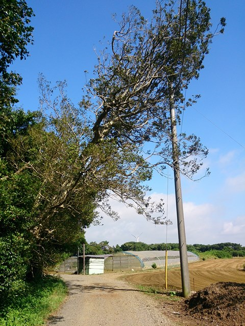 電柱の倒れたモチの木