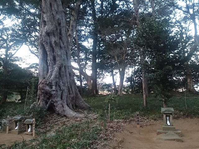 椎の木:樹齢700年