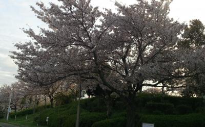 舞洲桜in車