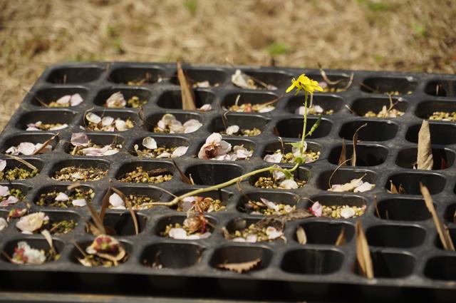 遅ればせながら、定植しなかったダメ苗が菜の花を咲かせた