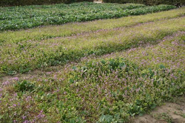 小松菜を採り終った後の畑に咲いた紫の雑草